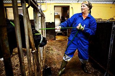 15.32 Mycket jobb krävs för att få kossorna att flytta på sig.