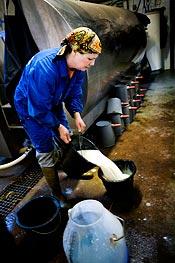 15.39 Det luktar sött och gott när Ann gör i ordning mjölkersättning åt de lite större kalvarna. Bara de minsta dricker mjölk från kossorna.