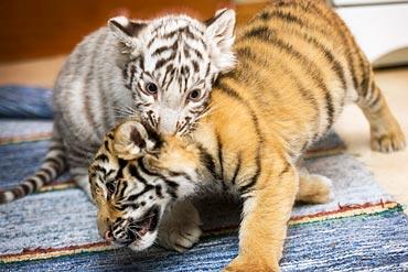 Tigerungar Junsele djurpark.
