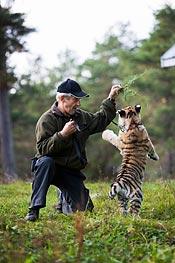 Bengt Eriksson leker med tigerungen Ninja.