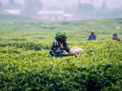 Arbetare på teplantage i Rwanda.