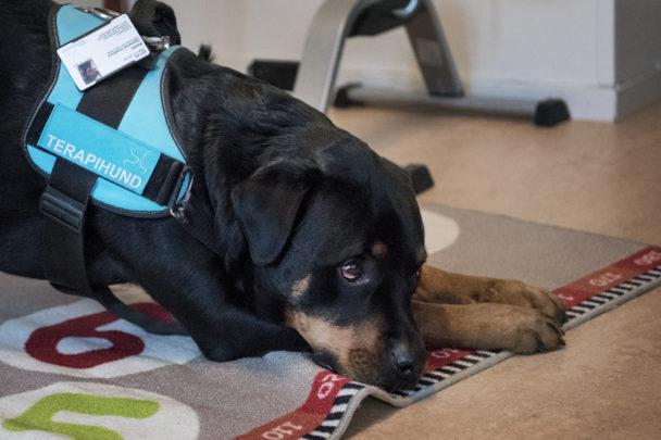 Terapihunden Baxter.