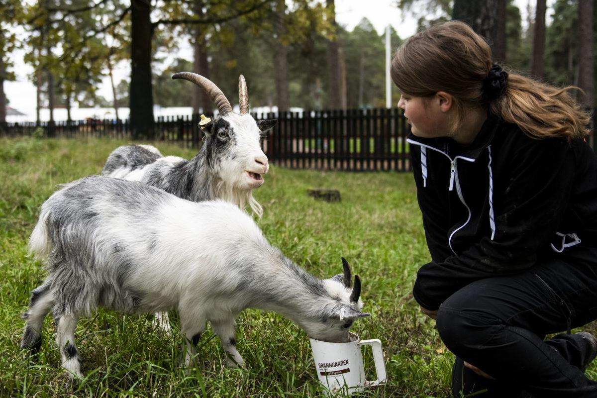 Loviza hjälper till att utfodra Göingegetterna Greta och Bianca.